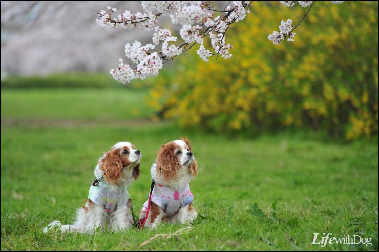 秋が瀬桜満開