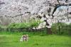 桜の木に下で